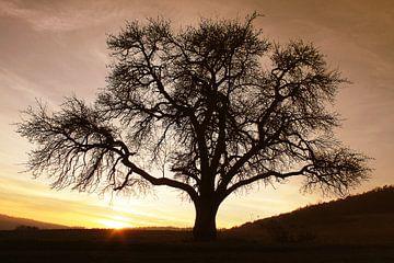 De kale boom in de zonsondergang van