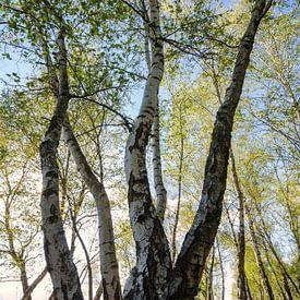 Birch Forest sur Steffen Gierok