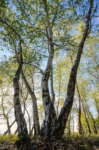 Birch Forest van Steffen Gierok