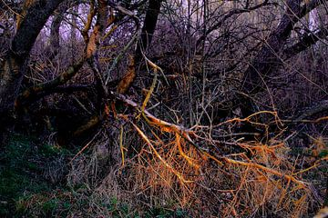 Wilde bomen in de duinen van Faucon Alexis