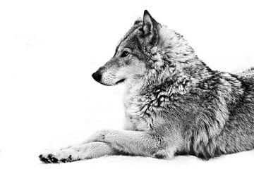 Eine Wölfin liegt im Schnee, ein stolzes Tier freut sich mit einem klaren Blick auf die Zukunft. von Michael Semenov