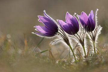Küchenschellen, Kuhschellen ( Pulsatilla vulgaris ), erste Frühlingsboten, Frühblüher, Wildblumen. von wunderbare Erde