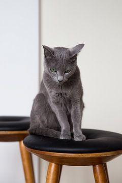 Russisch Blau Katze Amelie von Janine Bekker Photography
