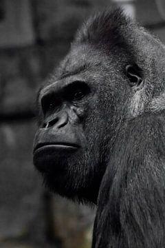 Die brutale Schnauze eines mächtigen und starken männlichen Gorillas ist ein Symbol für Männlichkeit von Michael Semenov