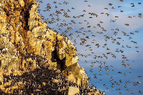 Massenstart am Vogelfelsen van