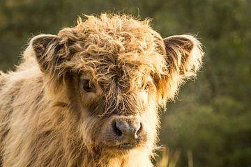 Schotse hooglander kalf van Petra Kroon