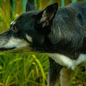 Hond van Johnny Flash