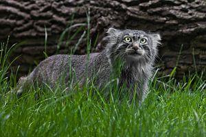 Pallas-Katze oder Pallas-Katze auf einem Hintergrund aus Gras und Holz. grimmiger Blick