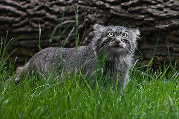 Pallas-Katze oder Pallas-Katze auf einem Hintergrund aus Gras und Holz. grimmiger Blick von Michael Semenov
