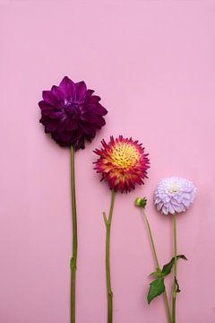 3 Dahlia bloemen op een roze achtergrond van Nfocus Holland