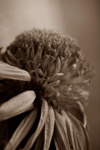 GARDEN FLOWER - SEPIA
