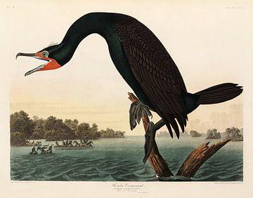 Double-crested-cormorant  - Teylers Edition -  Birds of America, Audubon von Teylers Museum