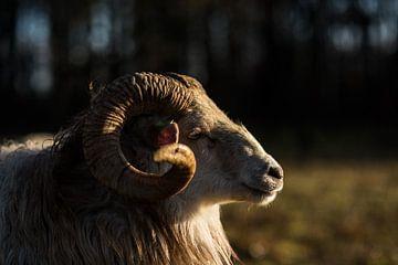 Drenthe-Heidekraut-Schafe von Mariska Nauta