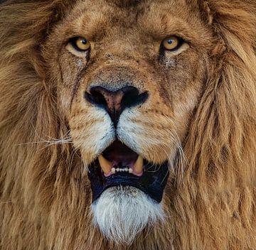 Portret van een Afrikaanse leeuw van Eye to Eye Xperience By Mris & Fred