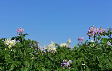 Een veld met bloeiende aardappelplanten van Ulrike Leone