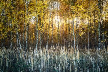 Berken van puur goud van Joris Pannemans - Loris Photography