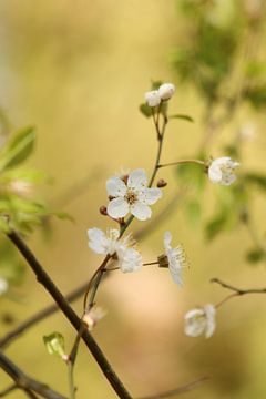 Bloesem in het bos, blossom, blühen, van