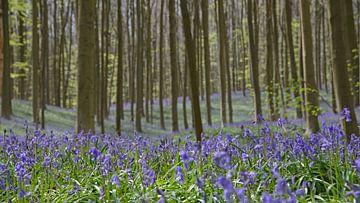 Blauwe hyacinten in het Hallerbos van