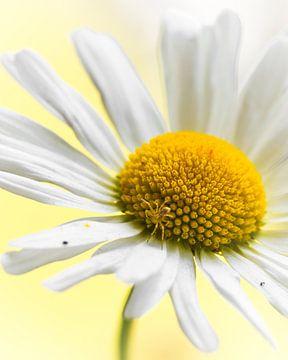 Kleine spin op een bloem von Kim de Been