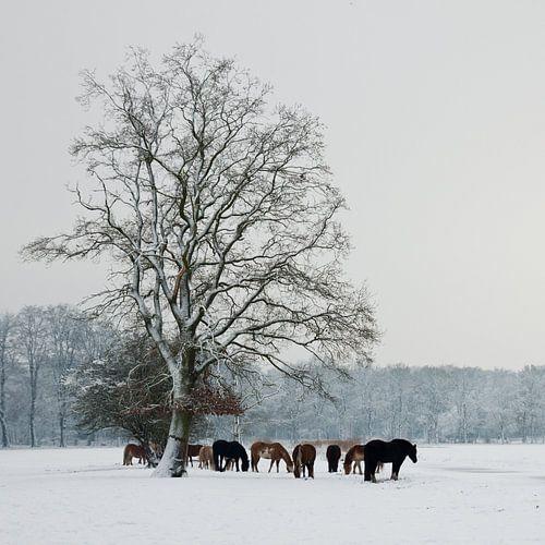 Paarden in Sneeuw van