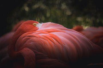 Beautiful flamingo watching you van Sandra H6 Fotografie