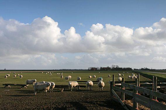 Schapen op Texel