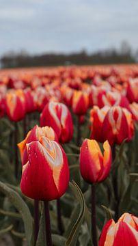 Tulpe von Sharity Verstegen