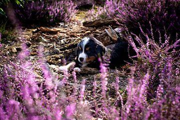 Puppy in de paarse heide van Danai Kox Kanters