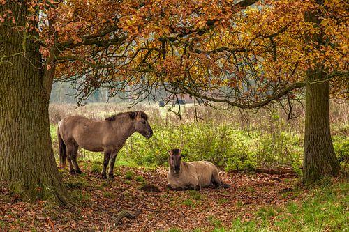Poolse Konik Paarden tussen de herfstkleuren in Natuurgebied Ingendael