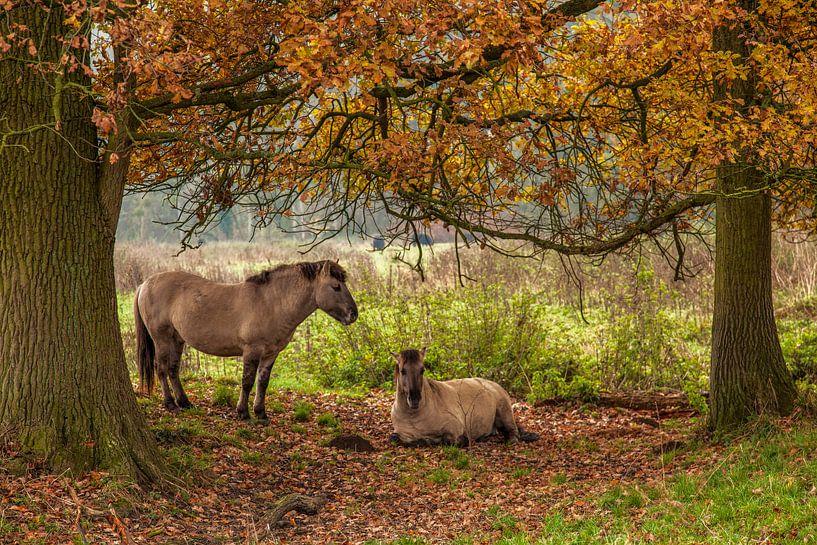 Poolse Konik Paarden tussen de herfstkleuren in Natuurgebied Ingendael van John Kreukniet