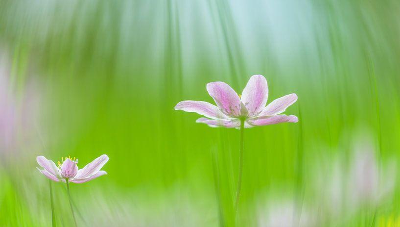 bosanemonen in het gras van Nancy Carels