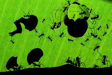 Bladmieren, Leafcutter Ants sur AGAMI Photo Agency