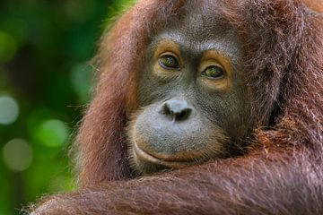 Orang-oetan portret van Richard Guijt