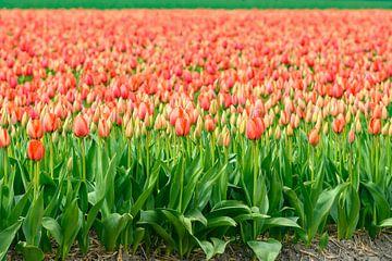 Tulpen in bloei in een veld tijdens de lente van Sjoerd van der Wal