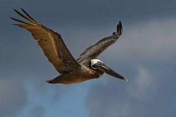 Vliegende bruine pelikaan van Fred en Roos van Maurik