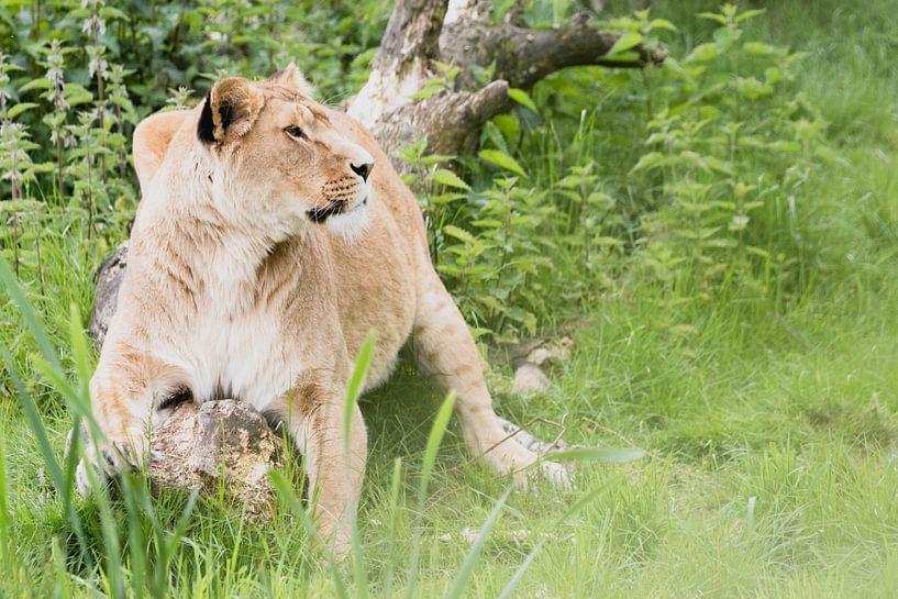 Löwen auf Safari Beekse Bergen von Anne Zwagers