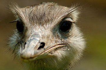 nieuwsgierige struisvogel (nieuwsgierig aagje) van vanetty onderstal
