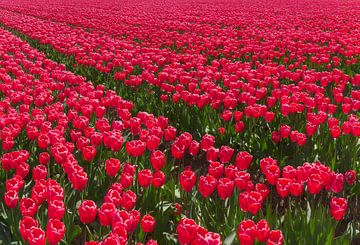 Tulipes rouges, Espel, polder du nord-est, Flevoland, Pays-Bas sur Rene van der Meer