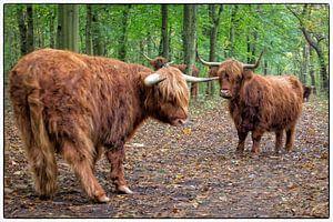 Schotse Hooglanders van