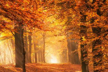 La lumière dorée d'une forêt en automne sur iPics Photography