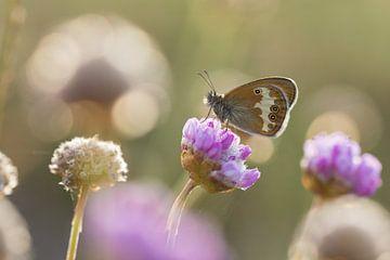 tweekleurig hooibeestje op engels gras van Francois Debets