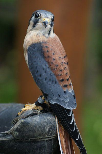 Falcon on a glove van Jeroen van Deel