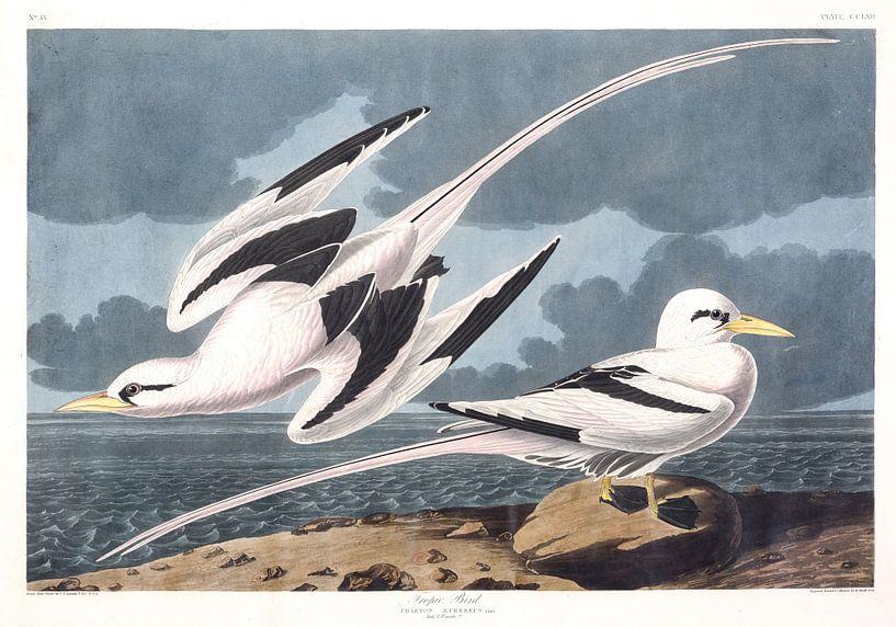 Keerkringvogels van Birds of America