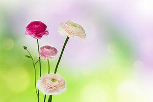 ranunkel blüten von Dörte Stiller
