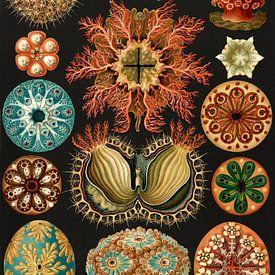 Ernst Haeckel, squirts, Ascidiae. , Seescheiden van Liszt Collection