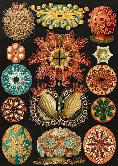 Ernst Haeckel, squirts, Ascidiae. , Seescheiden