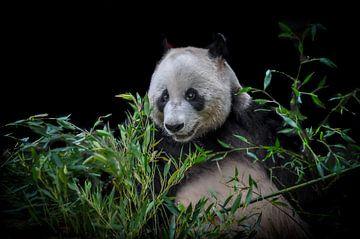 Panda von Patrick Scholte