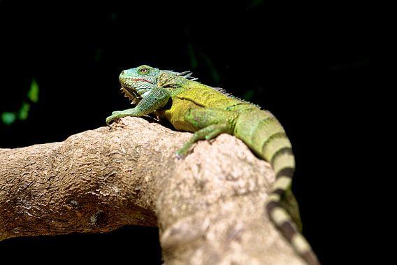 Groene leguaan op Bonaire van Guy Florack