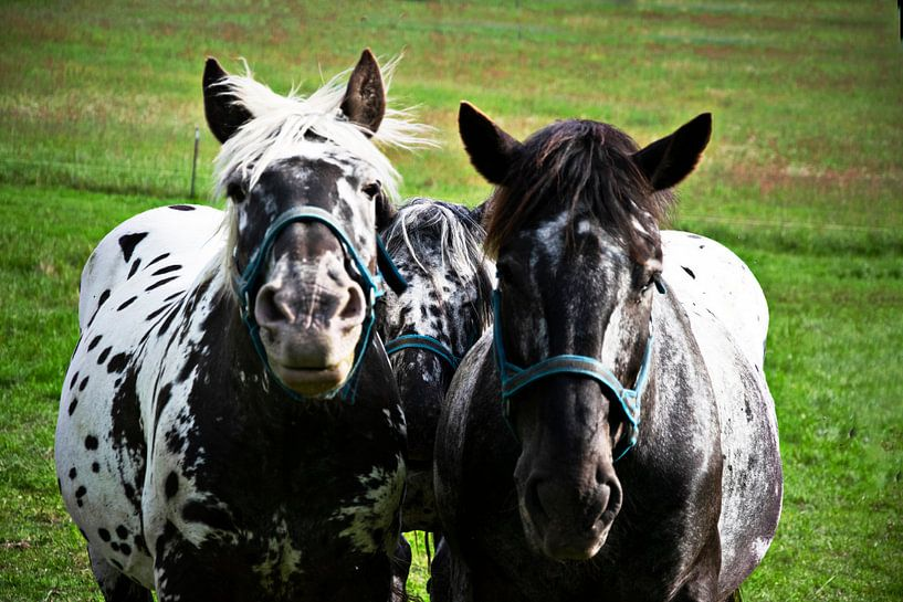 Drie paarden, drie vrienden van RK