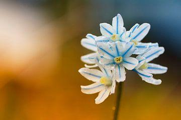 Frühlingsblüher von Cor de Hamer